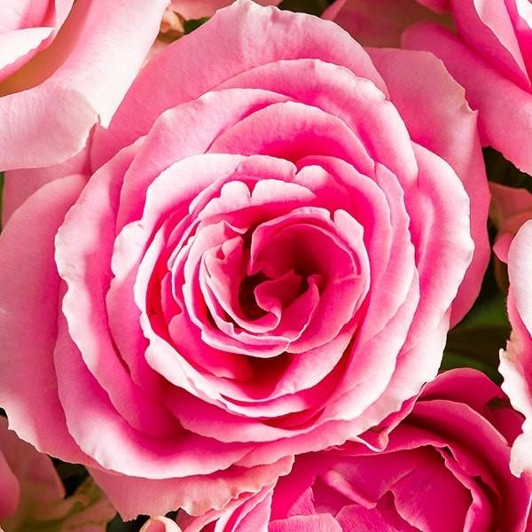 Pink rose bouquet morrisons flowerworld 008e6gk ming 008e6gl ming mightylinksfo