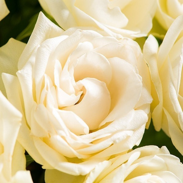 White rose bouquet morrisons flowerworld 008e6gq ming 008gsqq ming mightylinksfo